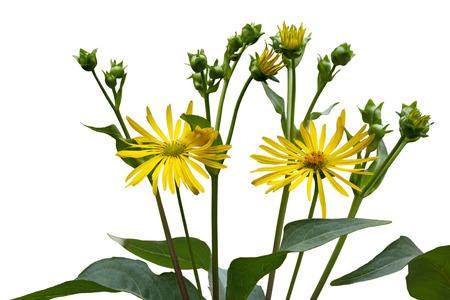 oxeye: Ox-eye Heliopsis helianthoides  false sunflower isolated on white background Stock Photo