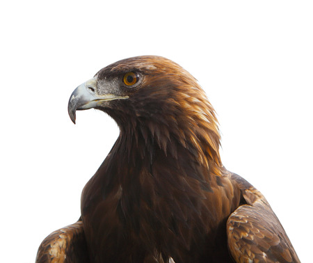 prey: Head of golden eagle bird isolated on white  Stock Photo