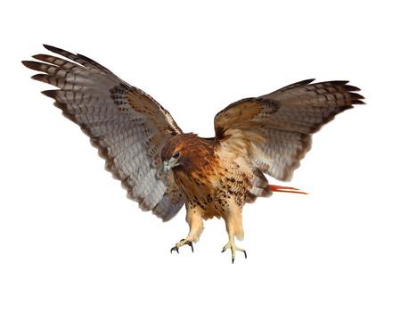 halcones: Cola roja Buteo jamaiquinos pájaro aislado en blanco Foto de archivo