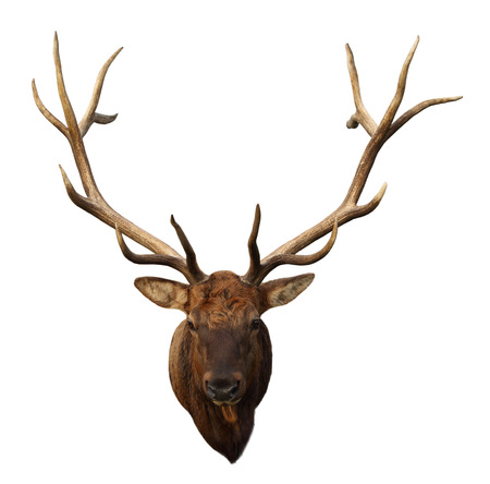 Deer Head with beautiful antlers isolated on white
