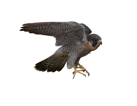 talons: Peregrine Falcon  Falco peregrinus  isolated on white