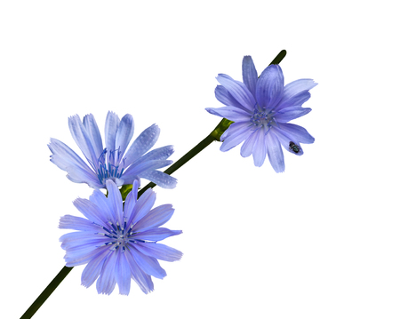 chicory: Chicory wild flower isolated on white Stock Photo