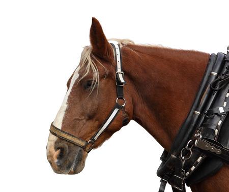 flappers: Cabeza de caballo belga Proyecto aisladas sobre fondo blanco