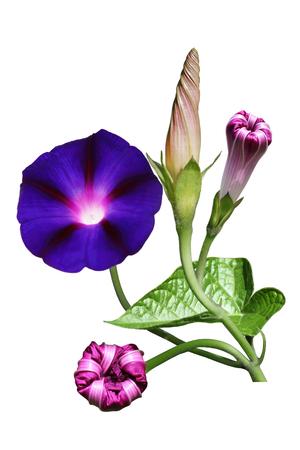 흰색에 고립 된 아름 다운 아침 영광을 꽃 스톡 콘텐츠