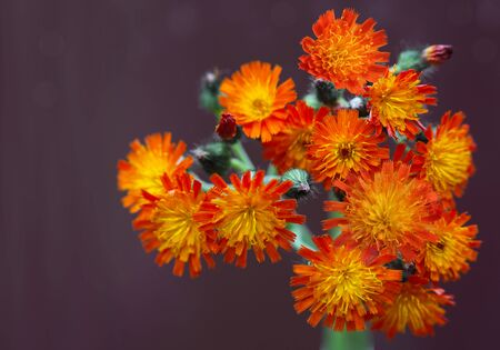 hawkweed: Beautiful bundle of fresh orange hawkweed flowers