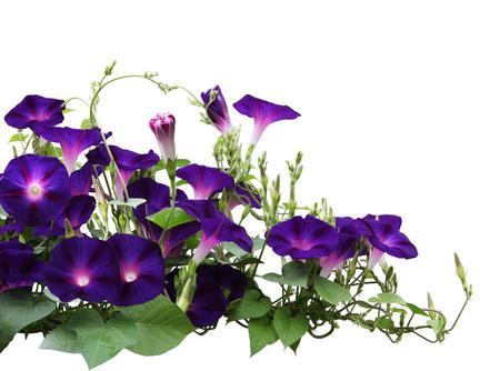 정원에서 아침 영광 꽃 식물 흰색으로 격리 스톡 콘텐츠