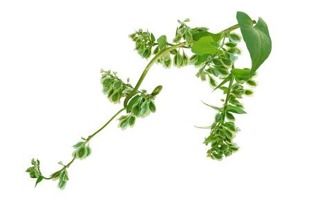 Fallopia scandens  Climbing False Buckwheat  wild flower with fruit Banco de Imagens