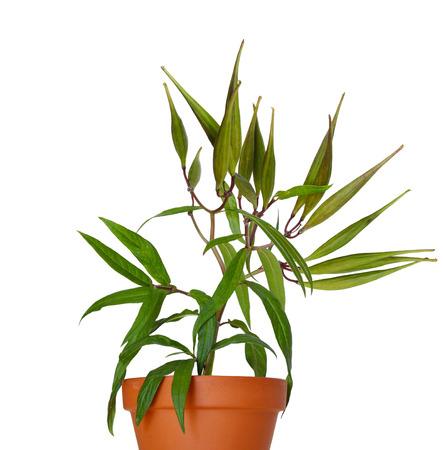 Asclepias incarnata Marsh Milkweed plant with fruit in the planter