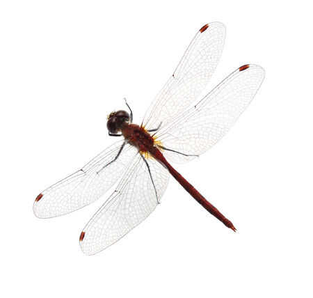 anisoptera: Red dragonfly isolated on white