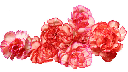 dianthus: Carnation Dianthus caryophyllus flower heads isolated on white background