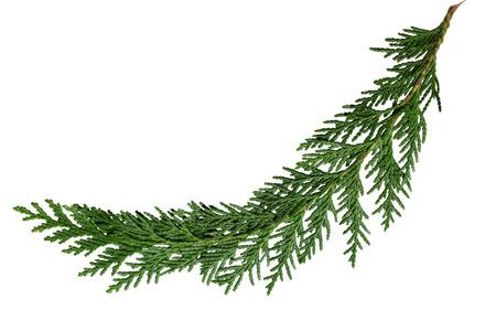 Evergreen ceder cipres grenen blad geïsoleerd op wit Stockfoto