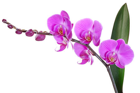 Magenta Orchid flower plant isolated on white background