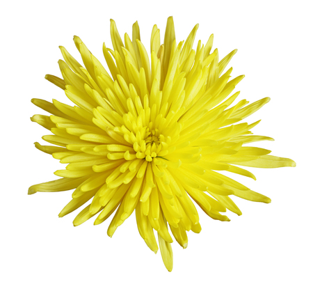 Single yellow chrysanthemum flower head isolated on white