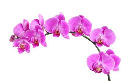 흰색 배경에 고립 된 신선한 보라색 난초 꽃