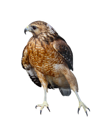 tailed: A Red-tailed hawk (Buteo jamaicensis) bird isolated on white background Stock Photo