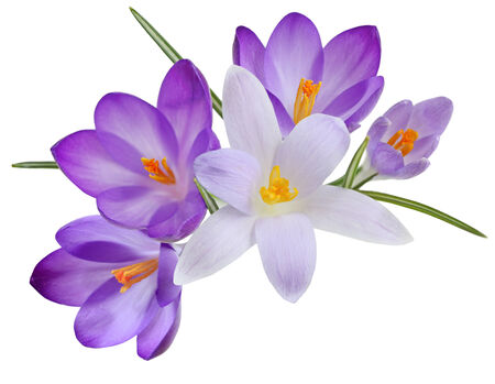 Bundle of fresh crocus flower heads isolated on white background Reklamní fotografie - 27541795