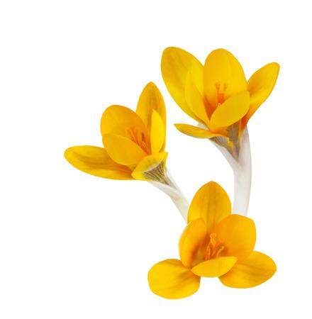 Orange crocus flowers isolated on white background