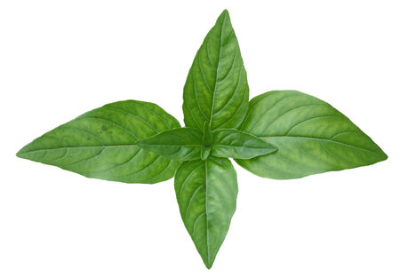 Thai basil leaves isolated on white background