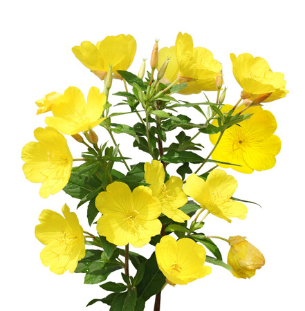 Evening Primrose  Oenothera  flower plant isolated on white background