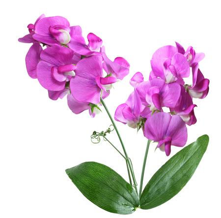 야생 핑크 달콤한 완두콩 꽃 흰색 배경에 고립 스톡 콘텐츠