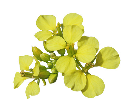rappi: Closeup of fresh rapeseed flower isolated on white background