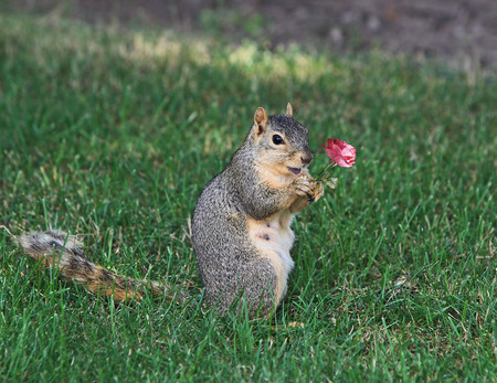 Cute Squirrel holding a rose in the Autumn photo