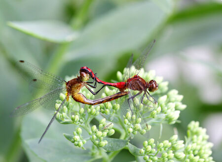 Two red and orange darter dragonfly mating Stock Photo