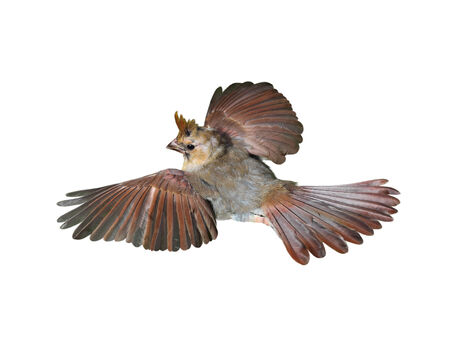 fledgling: Fledgling female cardinal bird flown down isolated on white background