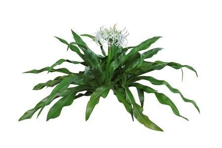 Giant Spider Lily Sumatra Crinum flower plant isolated on white background photo