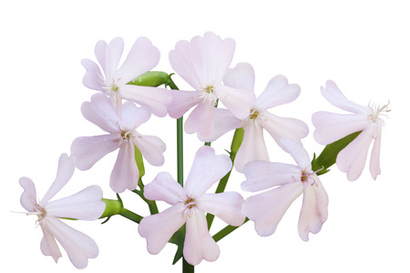 Bouncing Bet (Soapwort), Saponaria officinalis