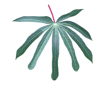 subsistence: Single fresh yuca cassava mnioc leaf isolated on white background