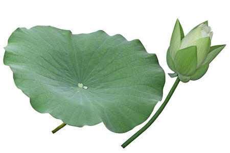 lotus leaf: White lotus flower bud and leaf isolated on background