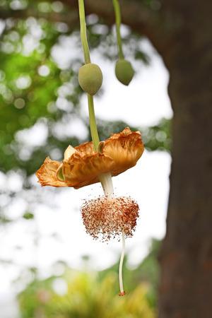 digitata: Baobab Adansonia Digitata flower and fruit on tree