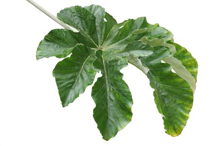 lobed: Giant Cecropia pachystachya Yarumo macho palmately lobed Leaf isolated on white