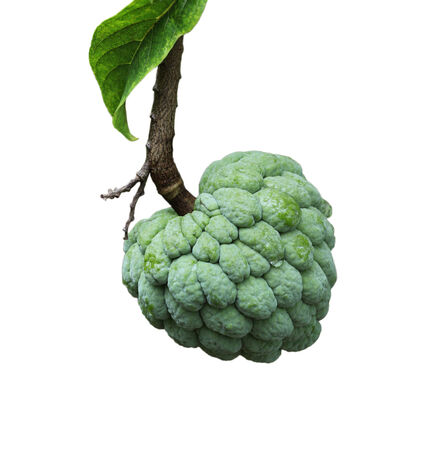sweetsop: Single raw sugar apple fruit (custard apple, Annona, sweetsop) isolated on white background