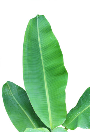 Banana leaves isolated on white background Reklamní fotografie - 33958718