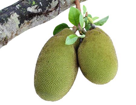 fruit: Jack fruit on jackfruit tree isolated on white background