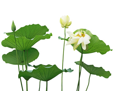 Yellow lotus flower and leaves isolated on white