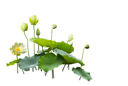 Lotus flower, bud, leaf  in a pond isolated on white background Фото со стока