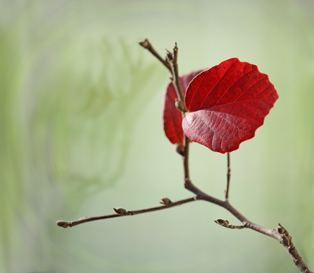 Two red leaves on branch in the Fall, empty nest concept photo