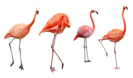 flamenco ave: Cuatro pájaros rosados ??del flamenco aislado en blanco