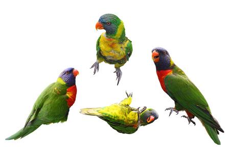 Collage of four rainbow lorikeet birds isolated on white