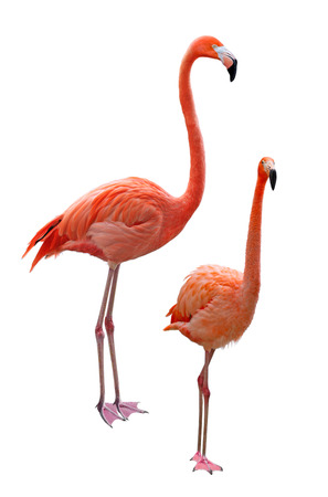 Phoenicopterus flamingo birds isolated on white background Stock Photo