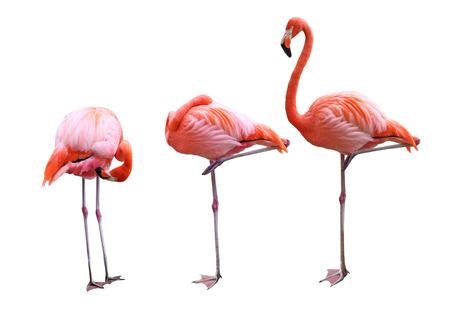 Three flamingo birds isolated on white background 스톡 콘텐츠