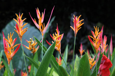 heliconia: Heliconia Psittacorum flower Plant in Florida Summer time