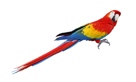 parrot tail: Whole parrot bird isolated on white background Stock Photo
