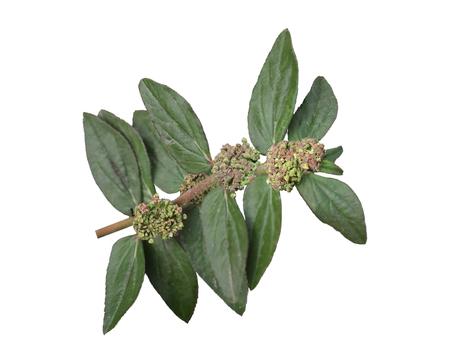 hirta: Chamaesyce Hirta (Garden Spurge) wildflower flower isolated on white