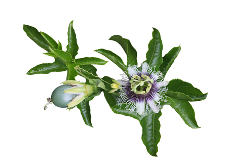 mellifera: Passiflora Laurifolia (passion) fruit, flower and leaf on vine isolated on white Stock Photo
