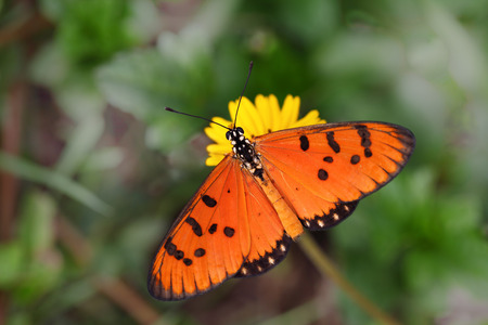 dione: Tawny Coaster Acraea violae  Butterfly in tropical garden Stock Photo