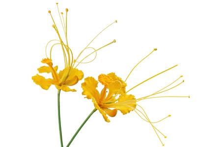 pulcherrima: Yellow caesalpinia pulcherrima flower isolated on white background Stock Photo